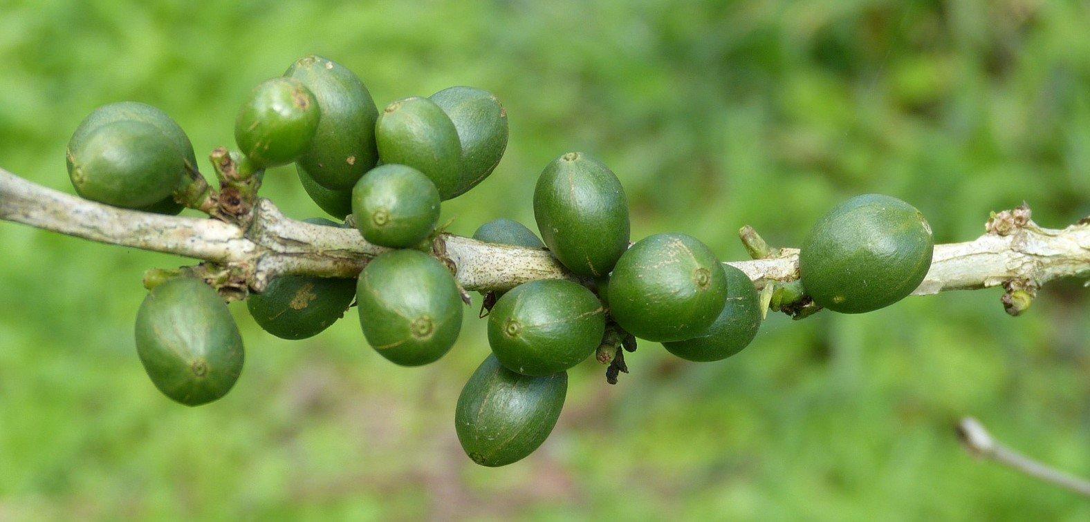 ubrente-kaffebønner